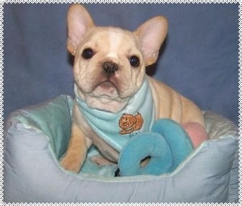 French Bulldog Puppies - French Bulldog Breeders - All Star French Bulldogs AKC